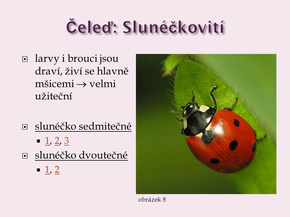 Čeleď: Slunéčkovití larvy i brouci jsou draví, živí se hlavně mšicemi  velmi užiteční. slunéčko sedmitečné.