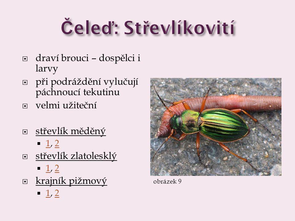 Čeleď: Střevlíkovití draví brouci – dospělci i larvy