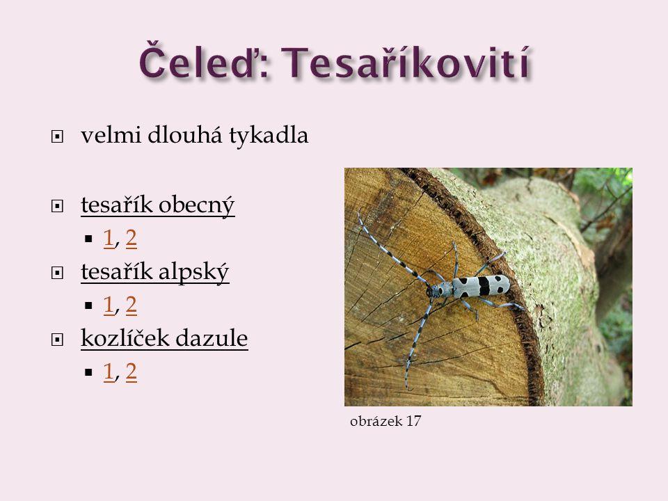 Čeleď: Tesaříkovití velmi dlouhá tykadla tesařík obecný tesařík alpský