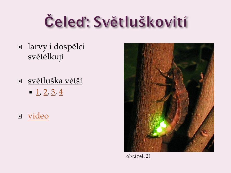 Čeleď: Světluškovití larvy i dospělci světélkují světluška větší video