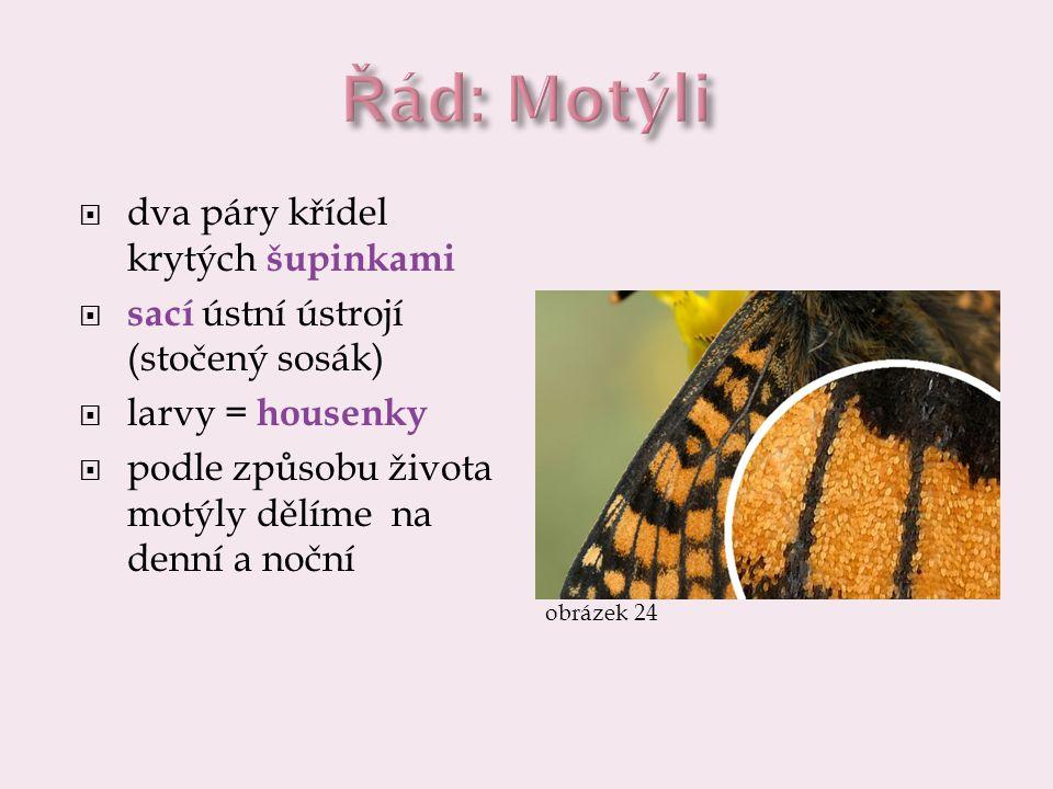 Řád: Motýli dva páry křídel krytých šupinkami