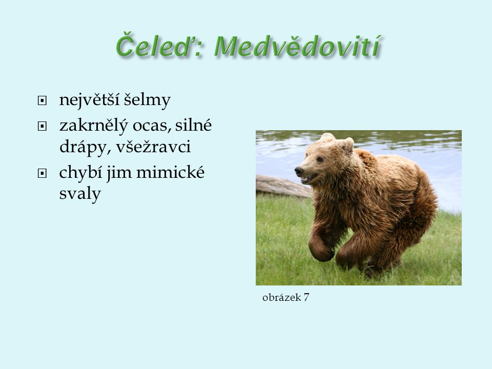 Čeleď: Medvědovití největší šelmy
