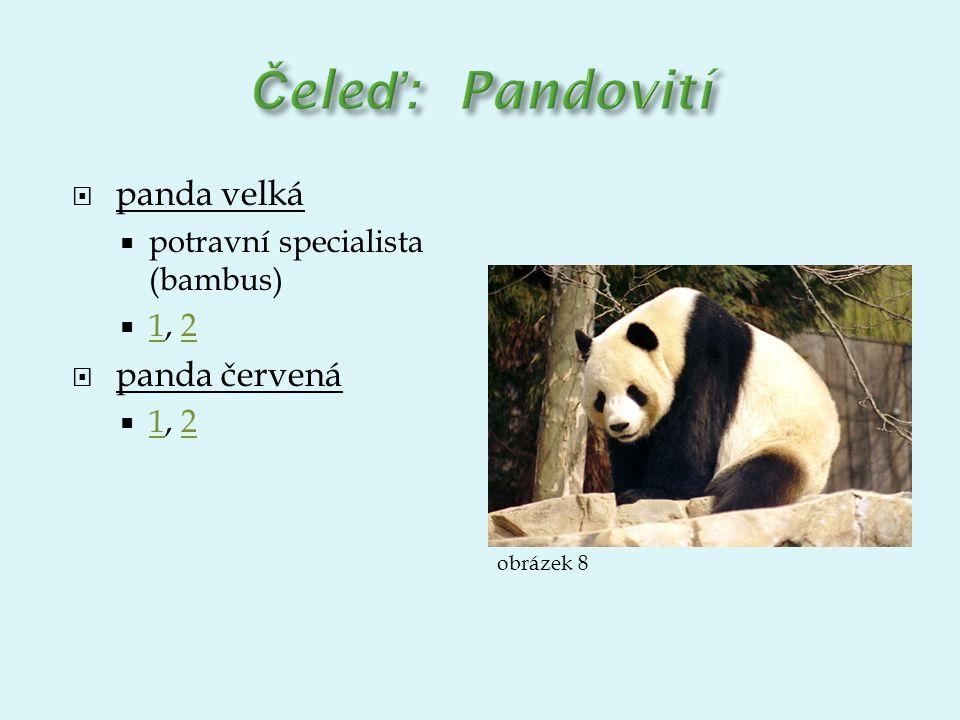 Čeleď: Pandovití panda velká panda červená