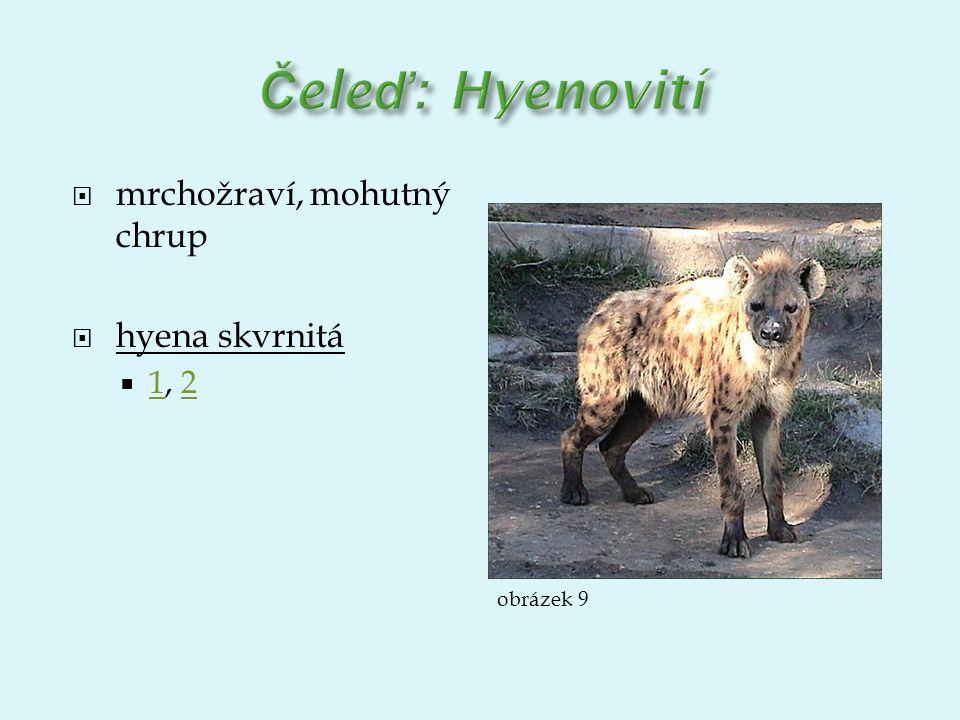 Čeleď: Hyenovití mrchožraví, mohutný chrup hyena skvrnitá 1, 2