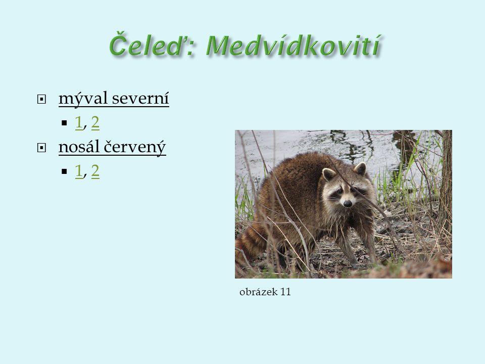 Čeleď: Medvídkovití mýval severní 1, 2 nosál červený obrázek 11
