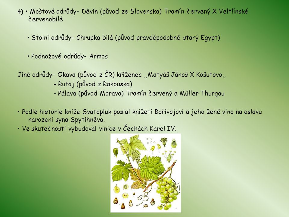• Stolní odrůdy- Chrupka bílá (původ pravděpodobně starý Egypt)