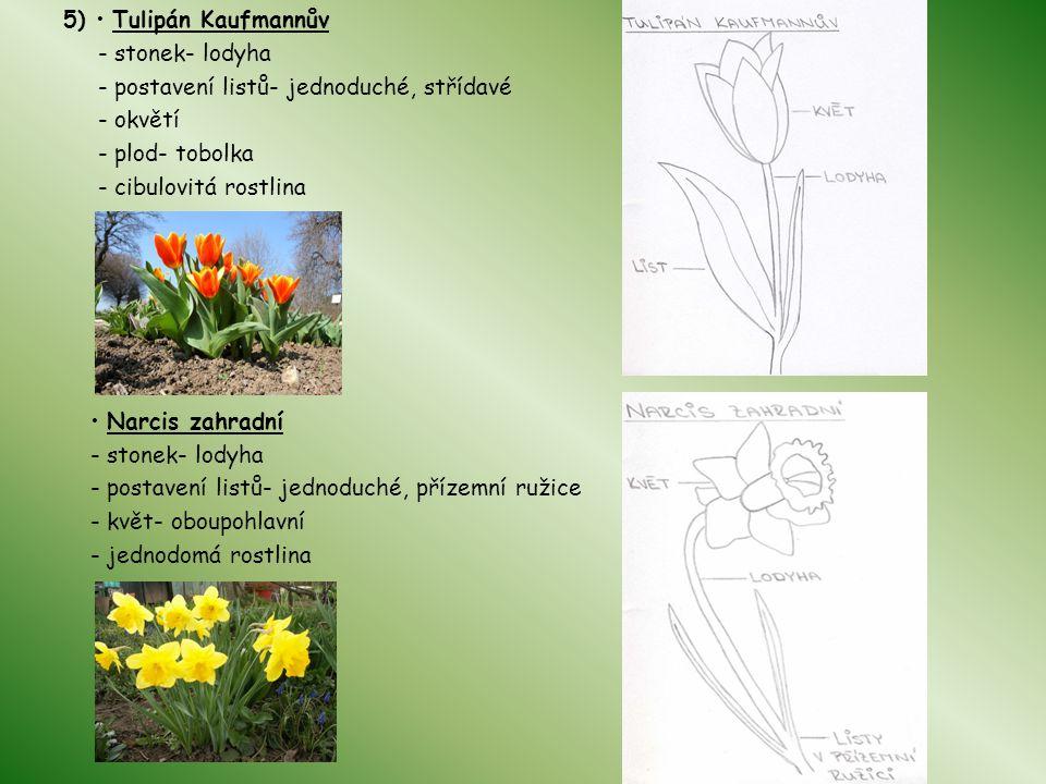 5) • Tulipán Kaufmannův - stonek- lodyha. - postavení listů- jednoduché, střídavé. - okvětí. - plod- tobolka.