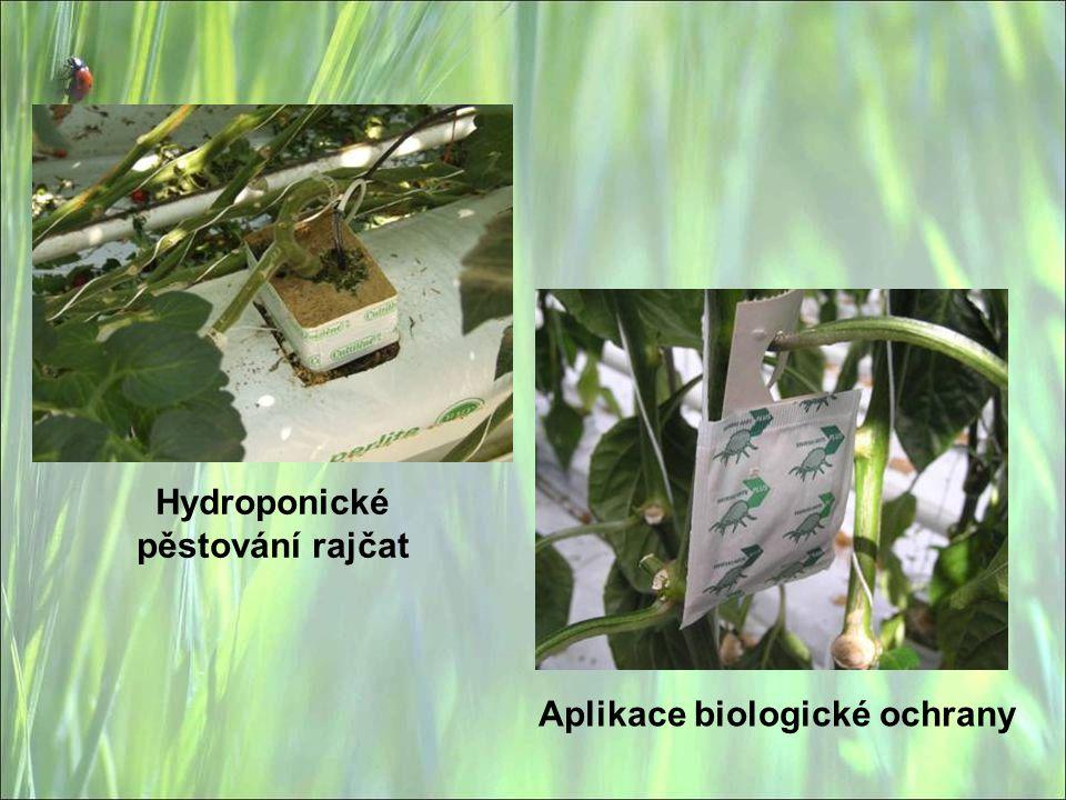 Hydroponické pěstování rajčat