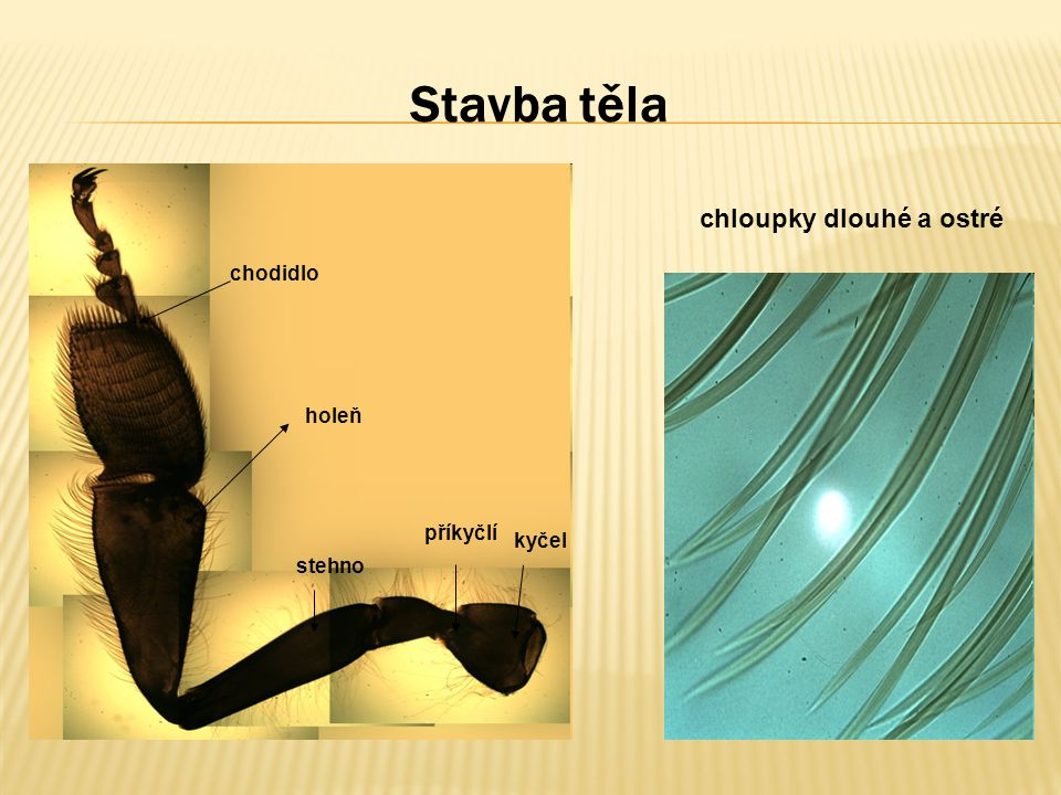 Stavba těla chloupky dlouhé a ostré chodidlo holeň příkyčlí kyčel