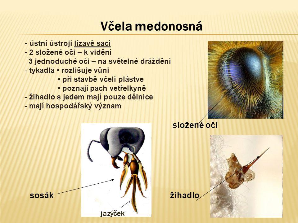 Včela medonosná - ústní ústrojí lízavě sací složené oči sosák žihadlo