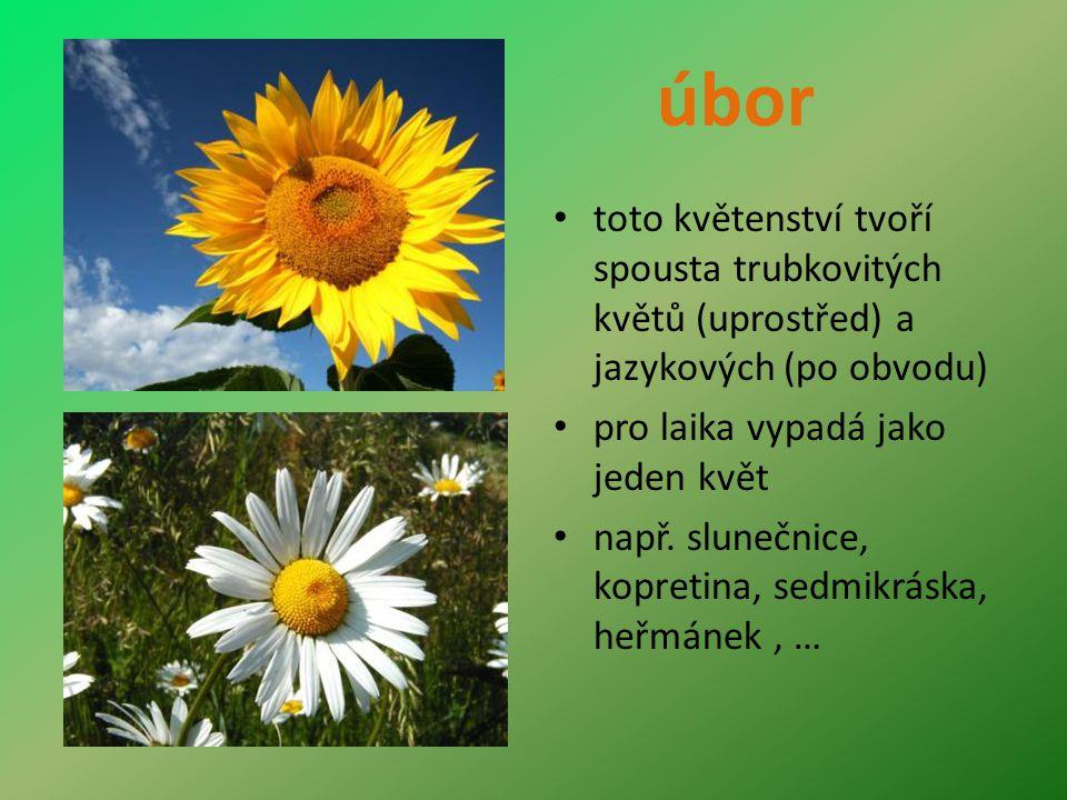 úbor toto květenství tvoří spousta trubkovitých květů (uprostřed) a jazykových (po obvodu) pro laika vypadá jako jeden květ.