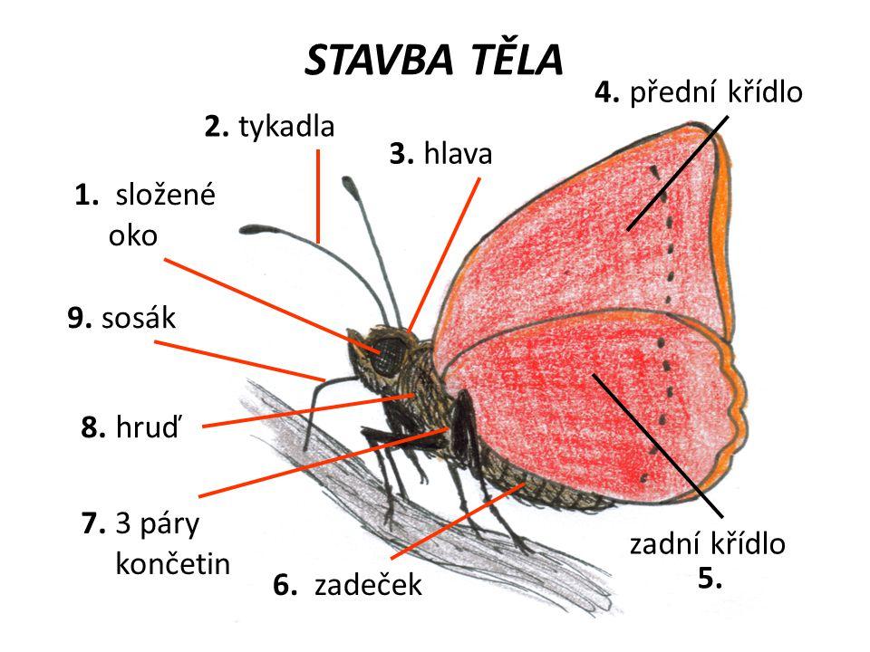 STAVBA TĚLA 4. přední křídlo 2. tykadla 3. hlava 1. složené oko 9.