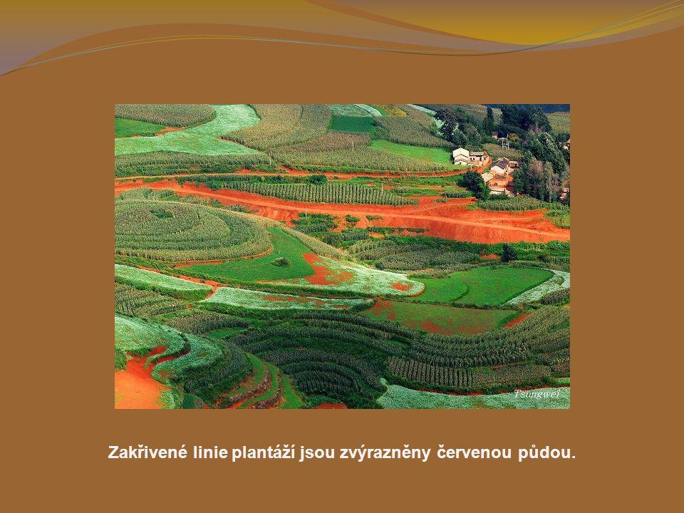 Zakřivené linie plantáží jsou zvýrazněny červenou půdou.