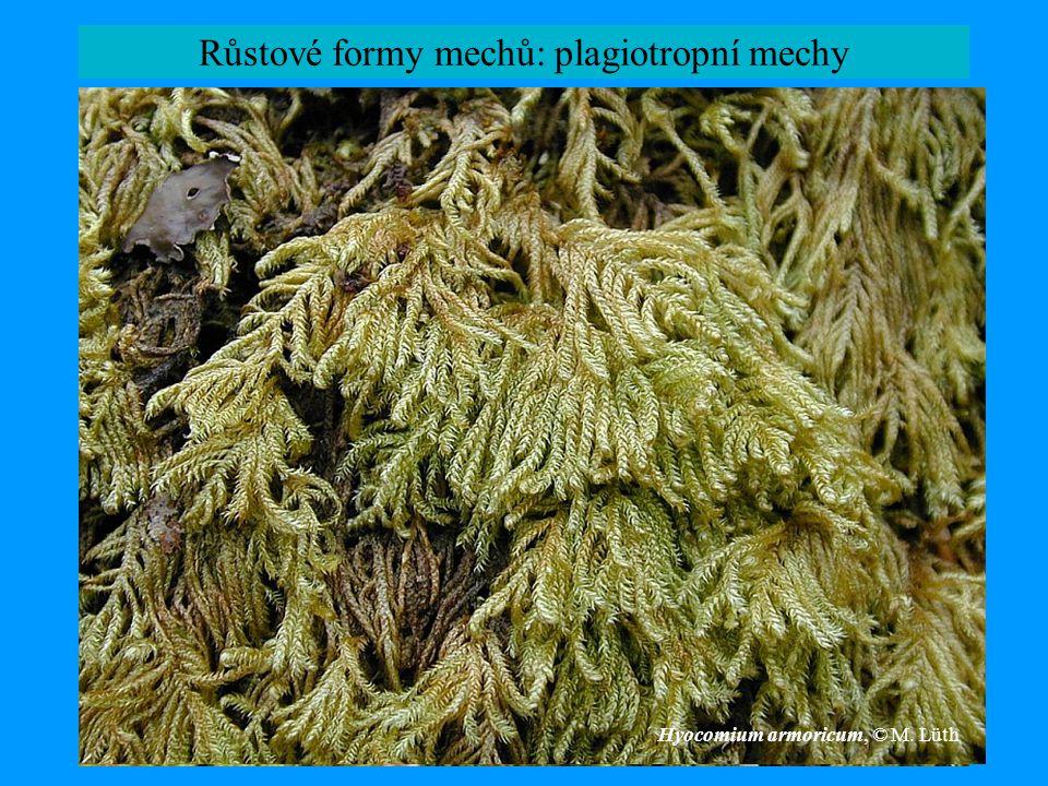 Růstové formy mechů: plagiotropní mechy
