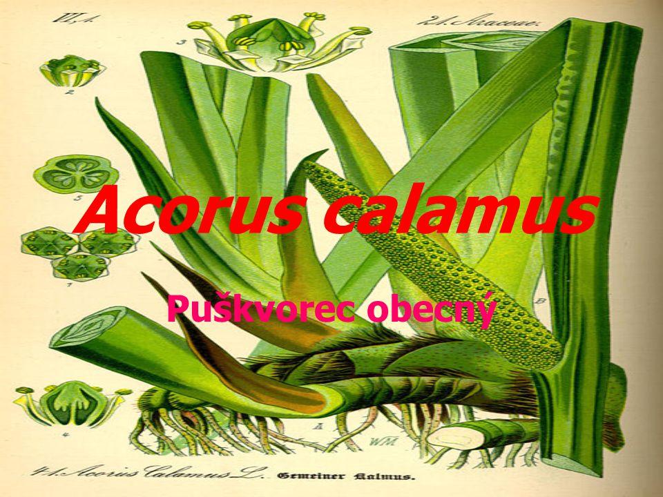 Acorus calamus Puškvorec obecný