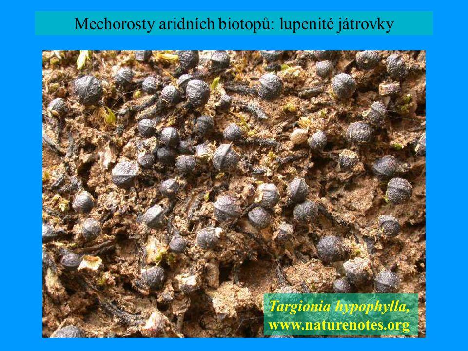 Mechorosty aridních biotopů: lupenité játrovky