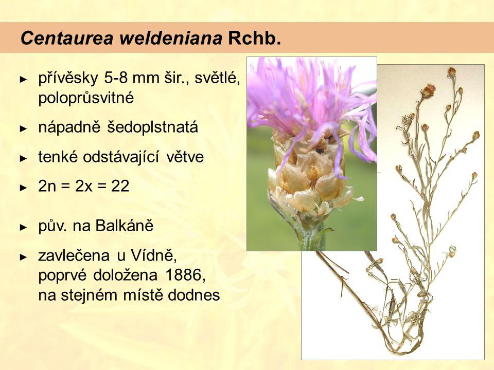 Centaurea weldeniana Rchb.