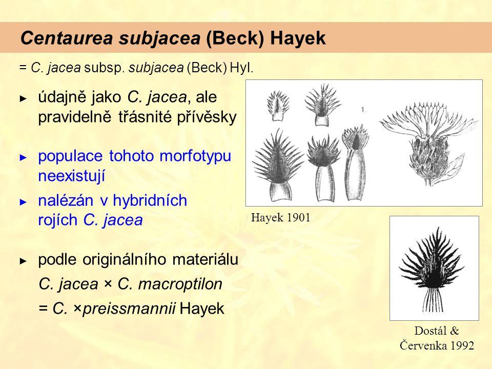 Centaurea subjacea (Beck) Hayek