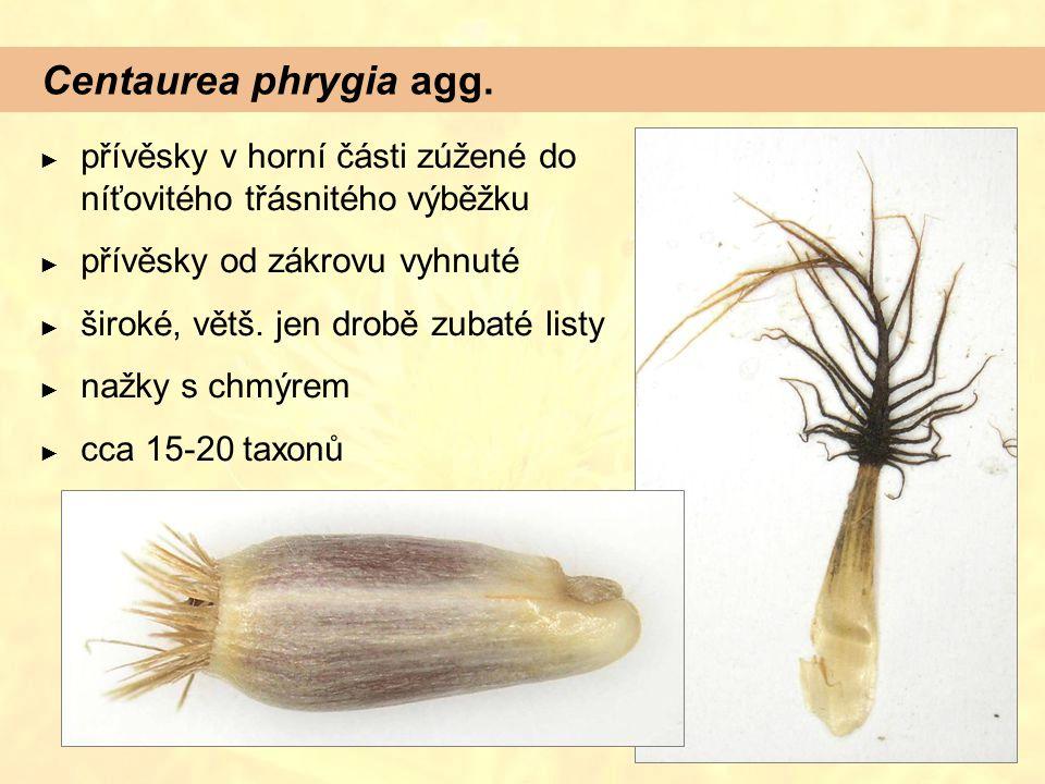Centaurea phrygia agg. přívěsky v horní části zúžené do níťovitého třásnitého výběžku. přívěsky od zákrovu vyhnuté.