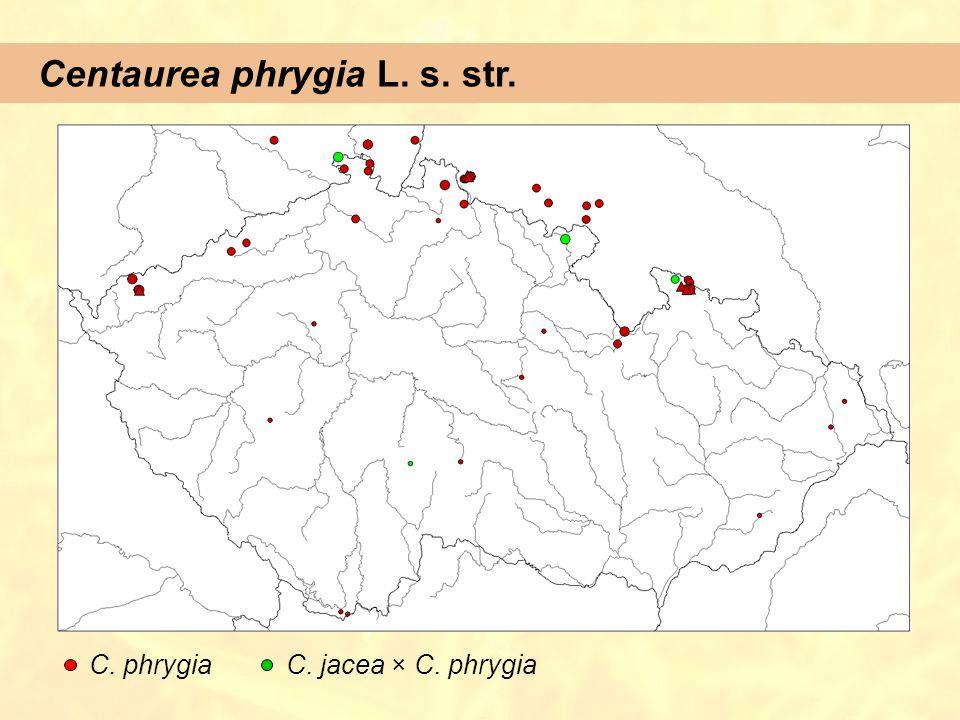 Centaurea phrygia L. s. str.