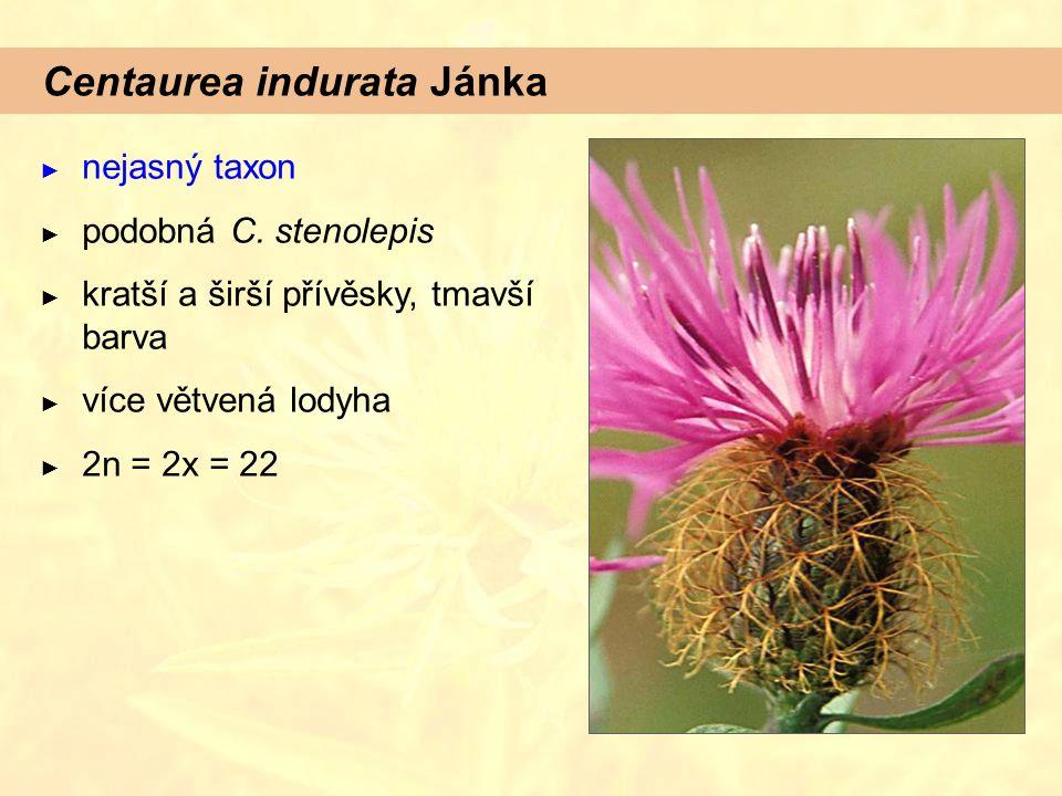 Centaurea indurata Jánka