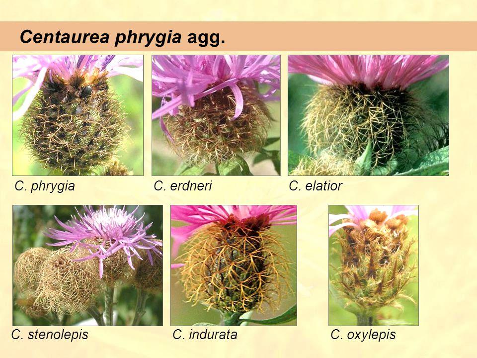 Centaurea phrygia agg. C. phrygia C. erdneri C. elatior C. stenolepis