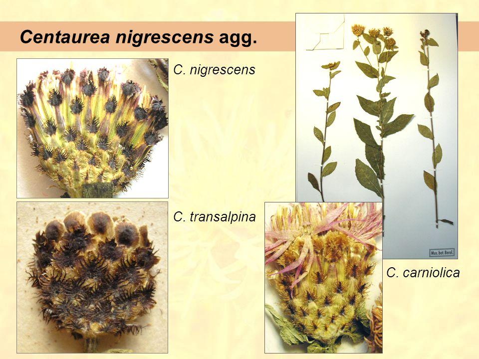 Centaurea nigrescens agg.