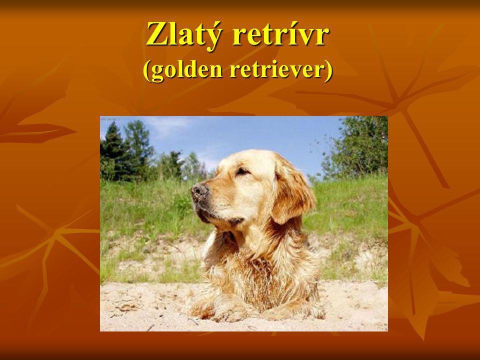 Zlatý retrívr (golden retriever)