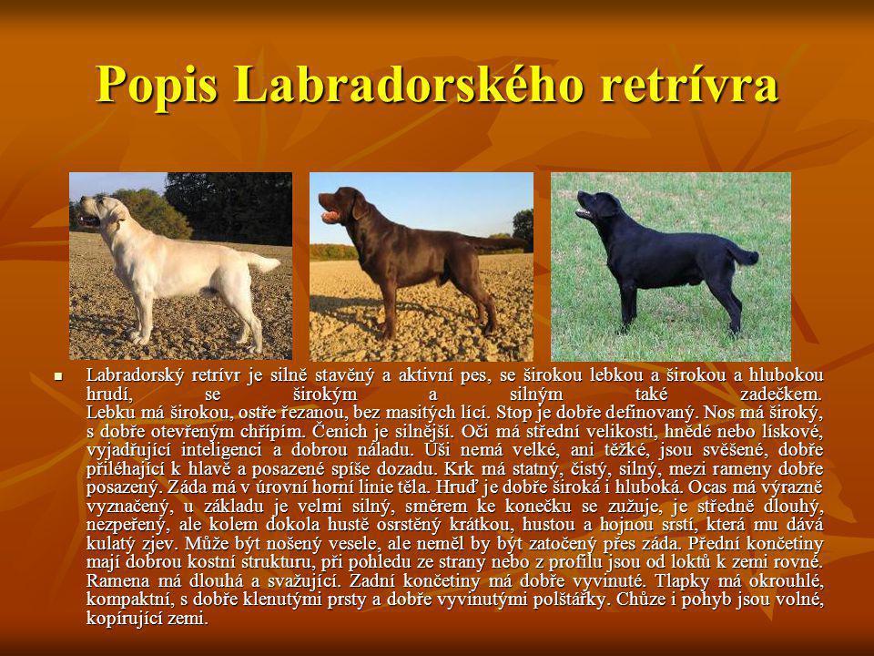 Popis Labradorského retrívra