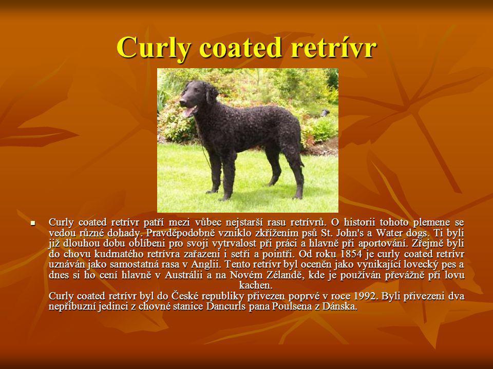 Curly coated retrívr