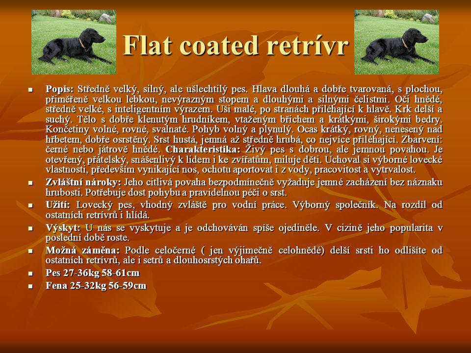 Flat coated retrívr