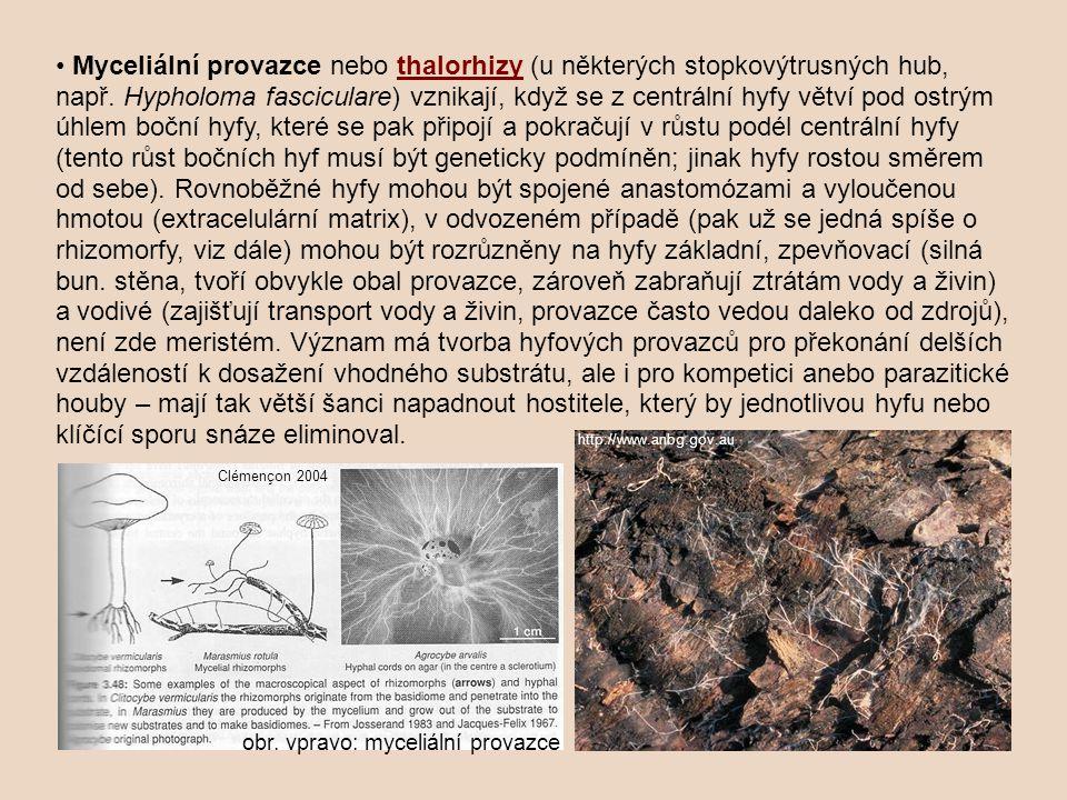 • Myceliální provazce nebo thalorhizy (u některých stopkovýtrusných hub, např. Hypholoma fasciculare) vznikají, když se z centrální hyfy větví pod ostrým úhlem boční hyfy, které se pak připojí a pokračují v růstu podél centrální hyfy (tento růst bočních hyf musí být geneticky podmíněn; jinak hyfy rostou směrem od sebe). Rovnoběžné hyfy mohou být spojené anastomózami a vyloučenou hmotou (extracelulární matrix), v odvozeném případě (pak už se jedná spíše o rhizomorfy, viz dále) mohou být rozrůzněny na hyfy základní, zpevňovací (silná bun. stěna, tvoří obvykle obal provazce, zároveň zabraňují ztrátám vody a živin) a vodivé (zajišťují transport vody a živin, provazce často vedou daleko od zdrojů), není zde meristém. Význam má tvorba hyfových provazců pro překonání delších vzdáleností k dosažení vhodného substrátu, ale i pro kompetici anebo parazitické houby – mají tak větší šanci napadnout hostitele, který by jednotlivou hyfu nebo klíčící sporu snáze eliminoval.