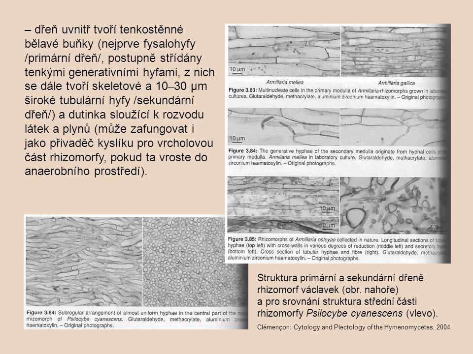 – dřeň uvnitř tvoří tenkostěnné bělavé buňky (nejprve fysalohyfy /primární dřeň/, postupně střídány tenkými generativními hyfami, z nich se dále tvoří skeletové a 10–30 µm široké tubulární hyfy /sekundární dřeň/) a dutinka sloužící k rozvodu látek a plynů (může zafungovat i jako přivaděč kyslíku pro vrcholovou část rhizomorfy, pokud ta vroste do anaerobního prostředí).