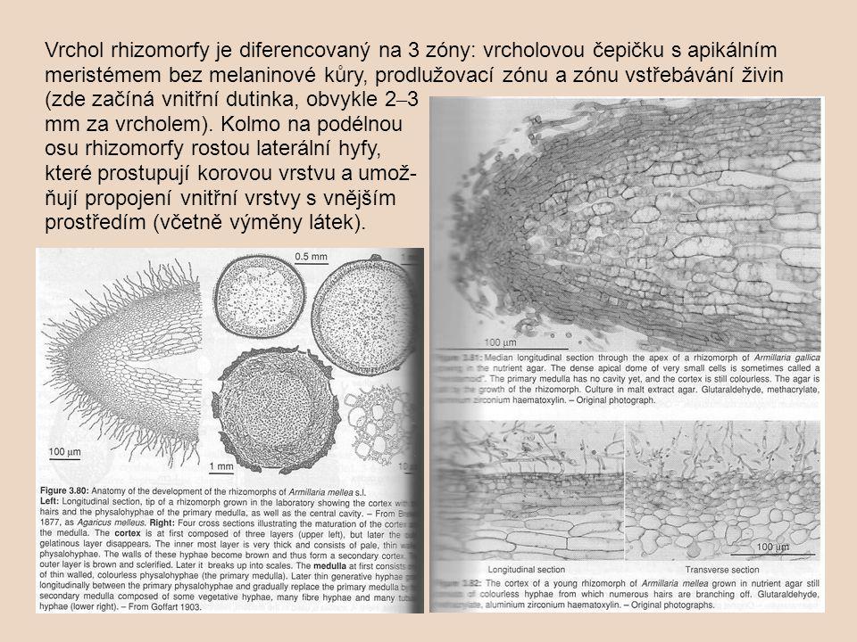 Vrchol rhizomorfy je diferencovaný na 3 zóny: vrcholovou čepičku s apikálním meristémem bez melaninové kůry, prodlužovací zónu a zónu vstřebávání živin