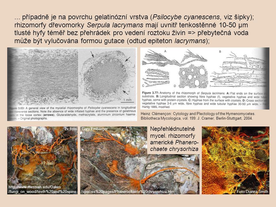... případně je na povrchu gelatinózní vrstva (Psilocybe cyanescens, viz šipky); rhizomorfy dřevomorky Serpula lacrymans mají uvnitř tenkostěnné 10-50 µm tlusté hyfy téměř bez přehrádek pro vedení roztoku živin => přebytečná voda může být vylučována formou gutace (odtud epiteton lacrymans);
