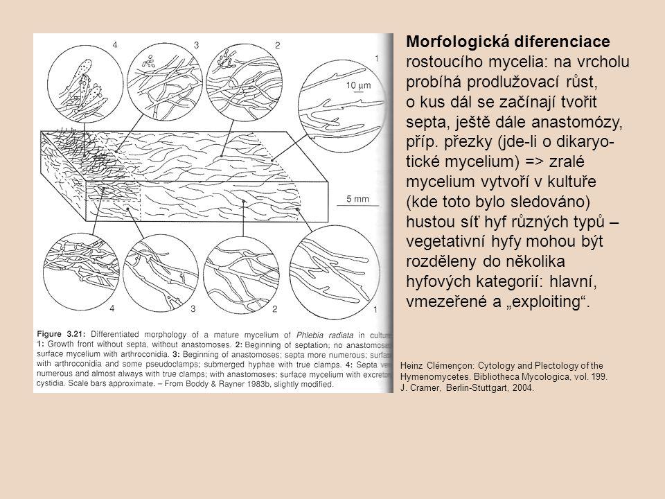 """Morfologická diferenciace rostoucího mycelia: na vrcholu probíhá prodlužovací růst, o kus dál se začínají tvořit septa, ještě dále anastomózy, příp. přezky (jde-li o dikaryo-tické mycelium) => zralé mycelium vytvoří v kultuře (kde toto bylo sledováno) hustou síť hyf různých typů – vegetativní hyfy mohou být rozděleny do několika hyfových kategorií: hlavní, vmezeřené a """"exploiting ."""