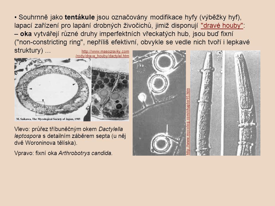 • Souhrnně jako tentákule jsou označovány modifikace hyfy (výběžky hyf), lapací zařízení pro lapání drobných živočichů, jimiž disponují dravé houby : – oka vytvářejí různé druhy imperfektních vřeckatých hub, jsou buď fixní ( non‑constricting ring , nepříliš efektivní, obvykle se vedle nich tvoří i lepkavé struktury) ...