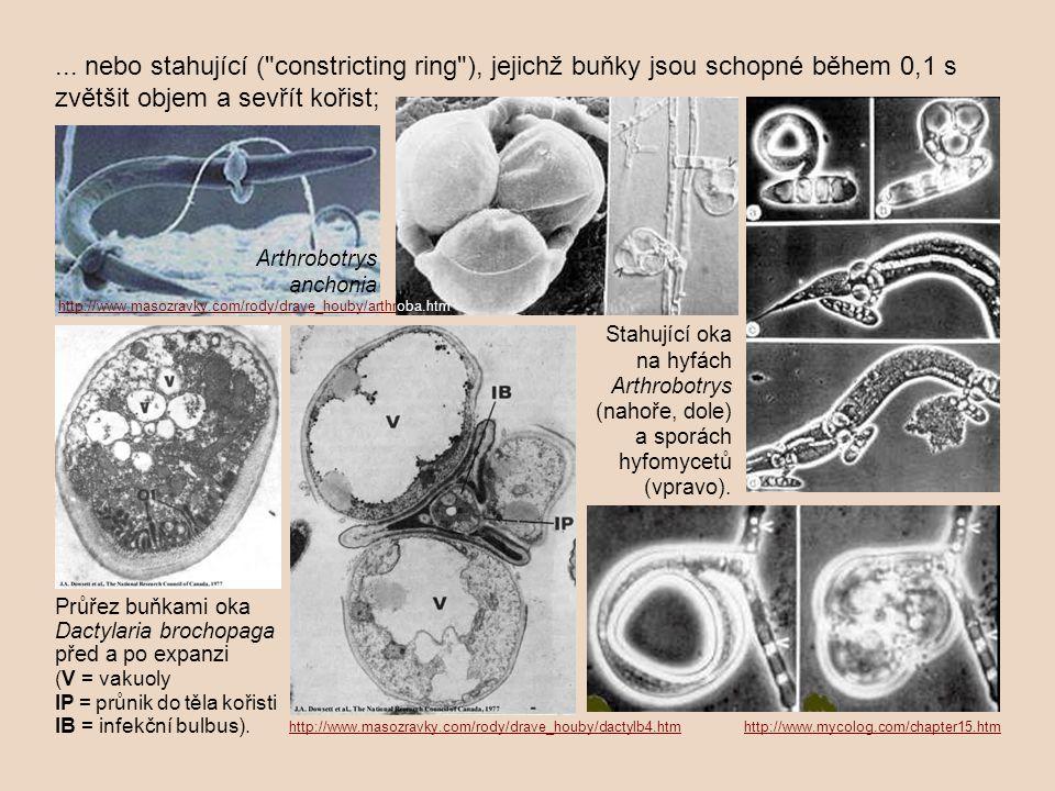 ... nebo stahující ( constricting ring ), jejichž buňky jsou schopné během 0,1 s zvětšit objem a sevřít kořist;