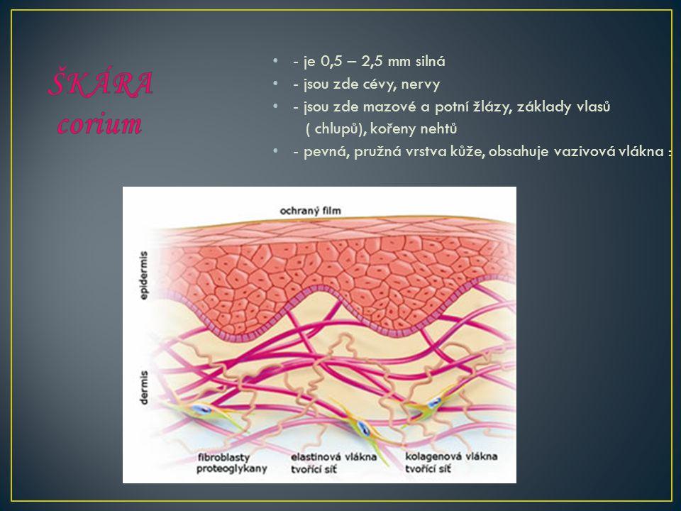 ŠKÁRA corium - je 0,5 – 2,5 mm silná - jsou zde cévy, nervy