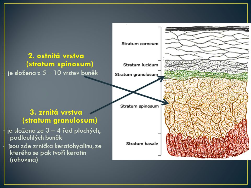 2. ostnitá vrstva (stratum spinosum)