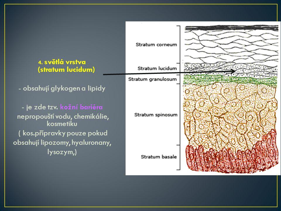 - obsahují glykogen a lipidy - je zde tzv. kožní bariéra