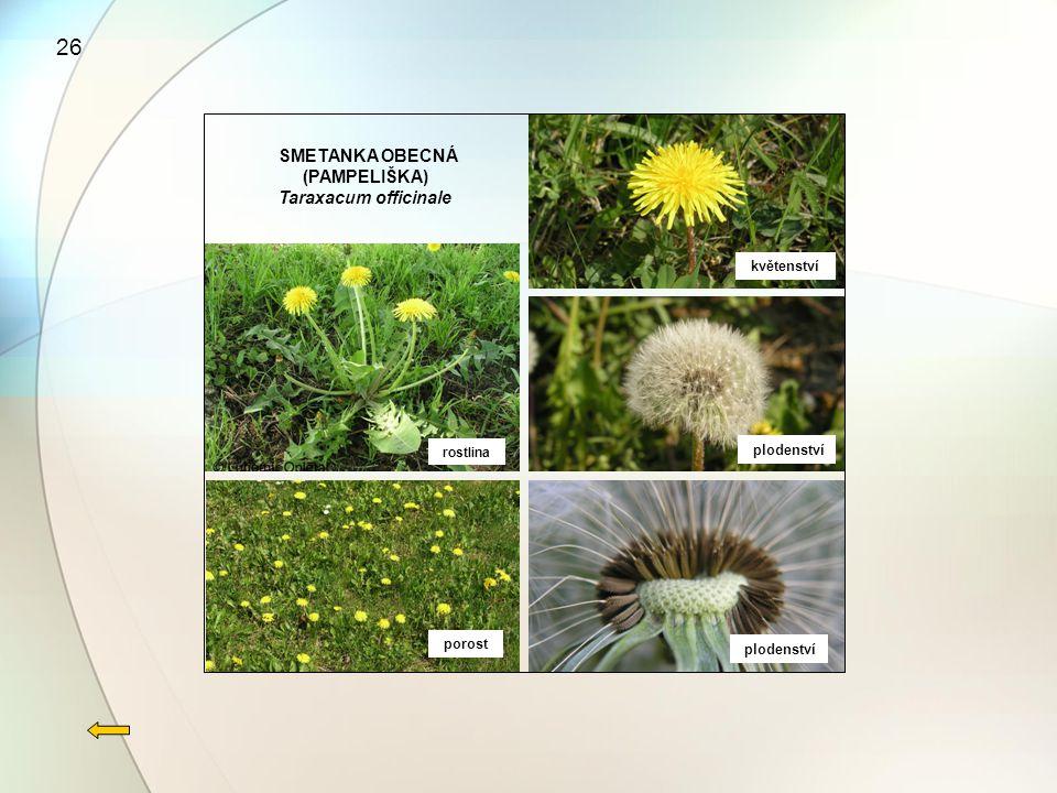 26 SMETANKA OBECNÁ (PAMPELIŠKA) Taraxacum officinale květenství
