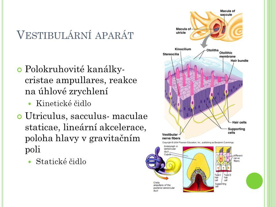 Vestibulární aparát Polokruhovité kanálky- cristae ampullares, reakce na úhlové zrychlení. Kinetické čidlo.