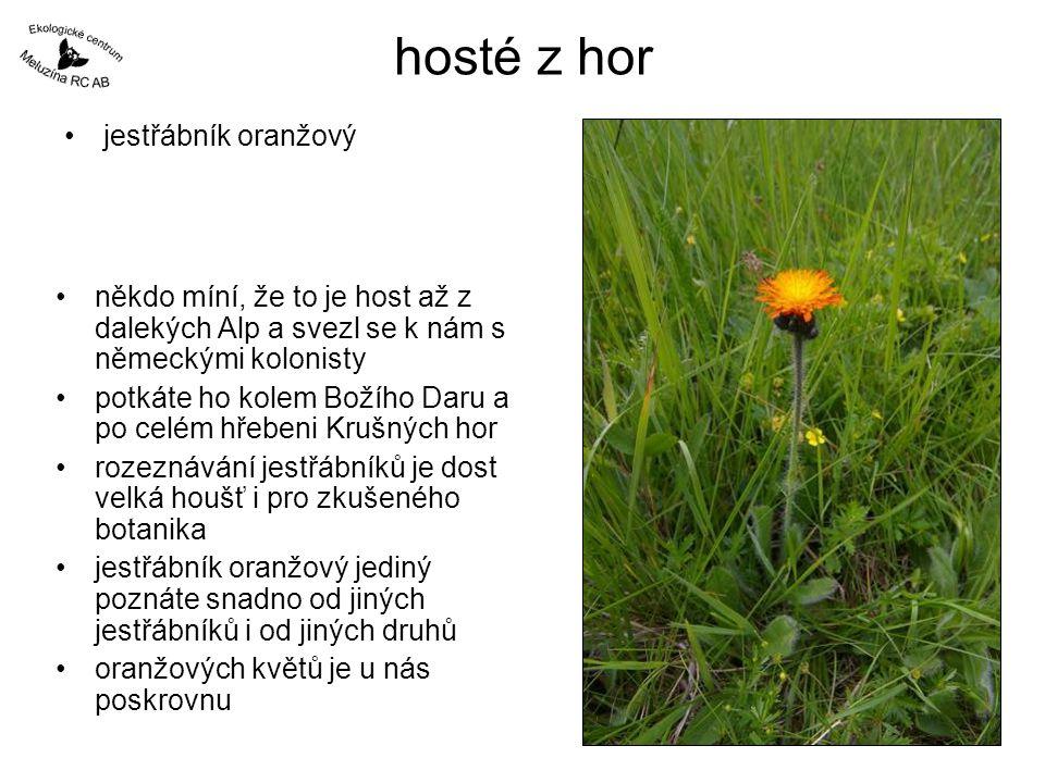 hosté z hor jestřábník oranžový