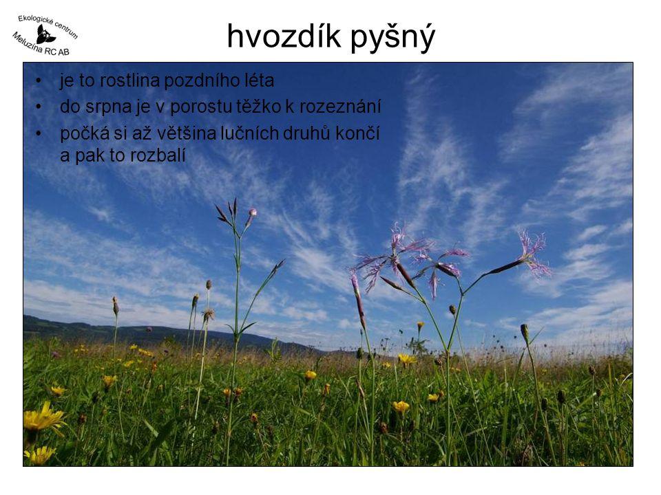 hvozdík pyšný je to rostlina pozdního léta