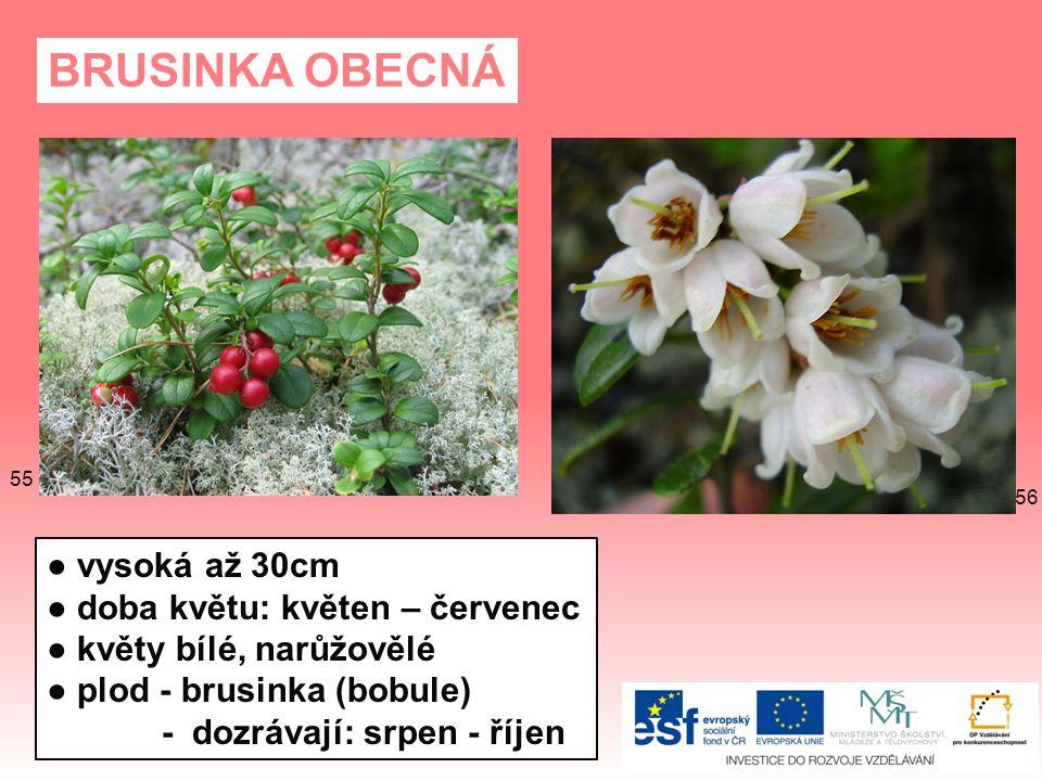 BRUSINKA OBECNÁ ● vysoká až 30cm ● doba květu: květen – červenec
