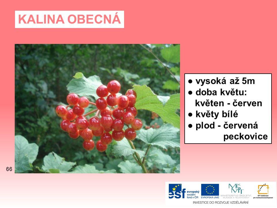 KALINA OBECNÁ ● vysoká až 5m ● doba květu: květen - červen