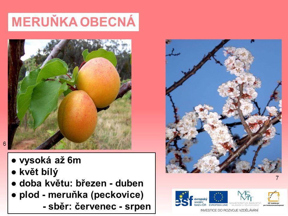 MERUŇKA OBECNÁ ● vysoká až 6m ● květ bílý ● doba květu: březen - duben