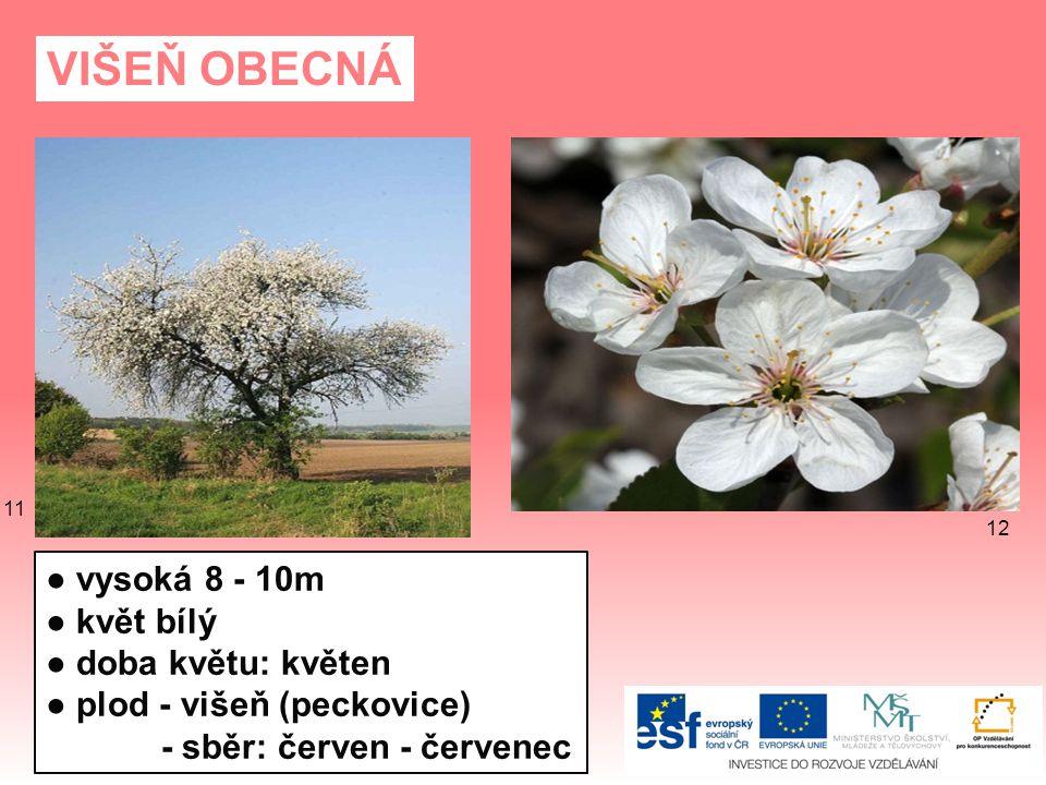 VIŠEŇ OBECNÁ ● vysoká 8 - 10m ● květ bílý ● doba květu: květen