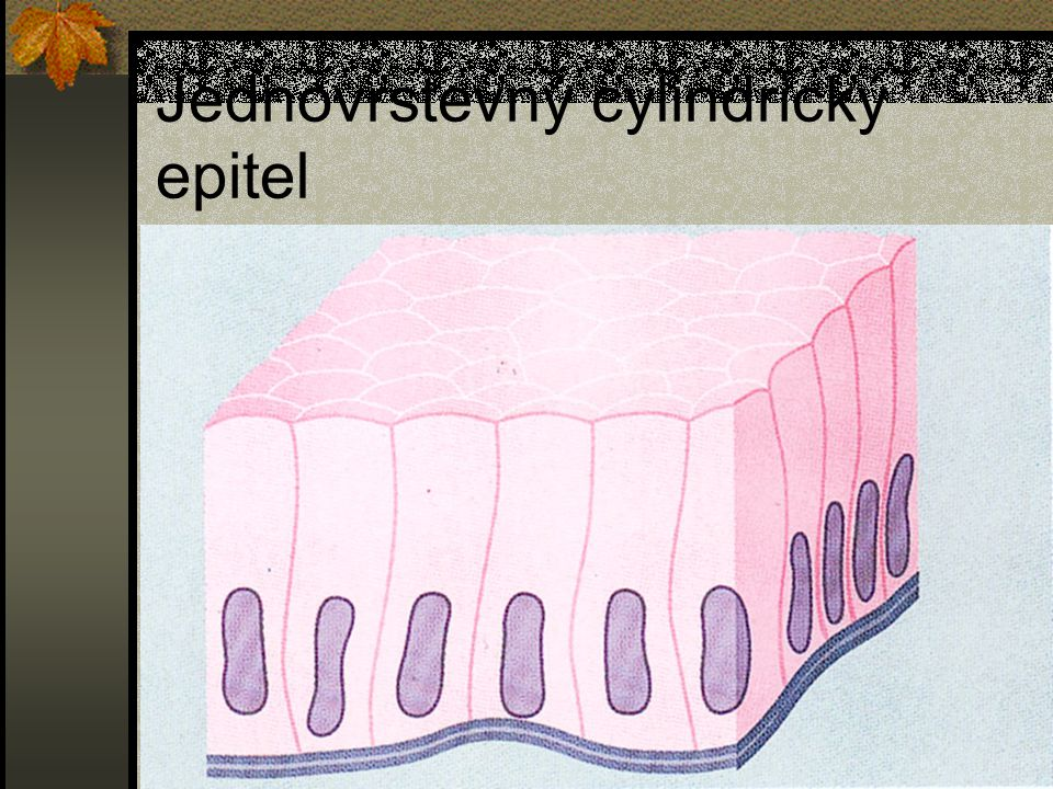 Jednovrstevný cylindrický epitel